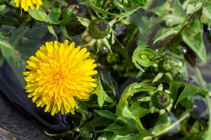 boccioli fiori aperti tarassaco foglie