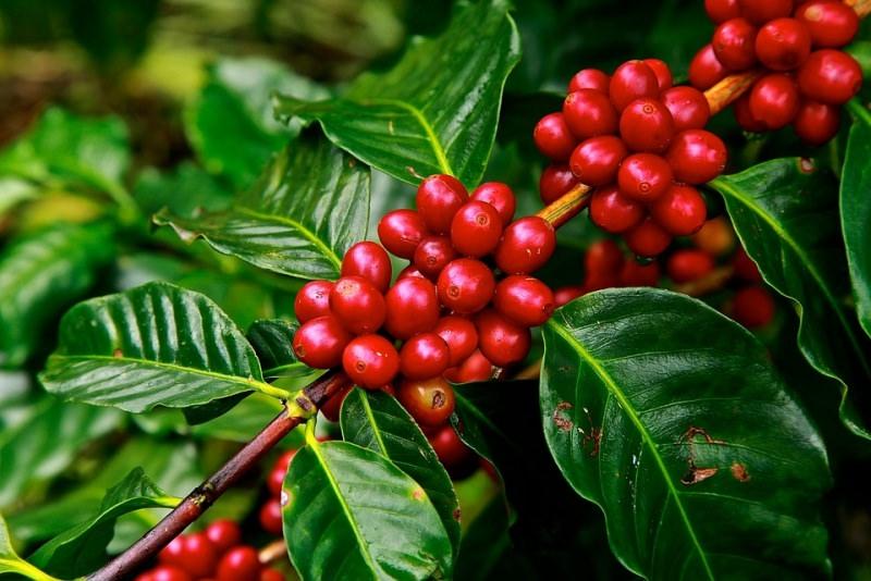 chicchi di caffè pianta