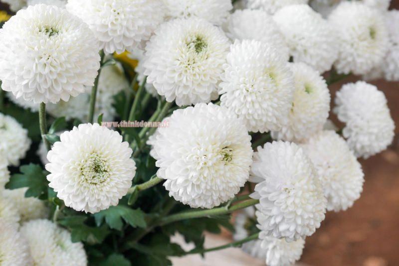 fiori crisantemo bianco