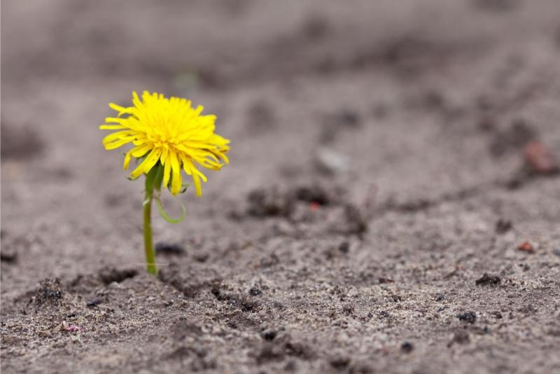 fiore tarassaco giallo cresce fessura asfalto