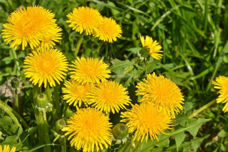 tarassaco fiori giallo prati erba spontanea