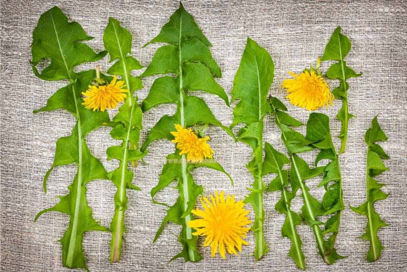 canovaccio con foglie e fiori di tarassaco