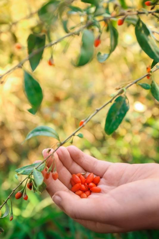 ramo con foglie bacche goji rosse