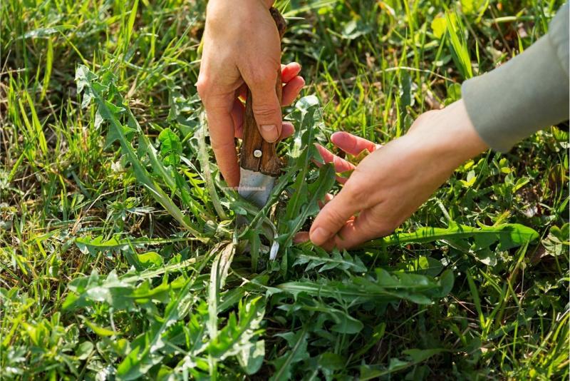 raccolta foglie tarassaco coltello
