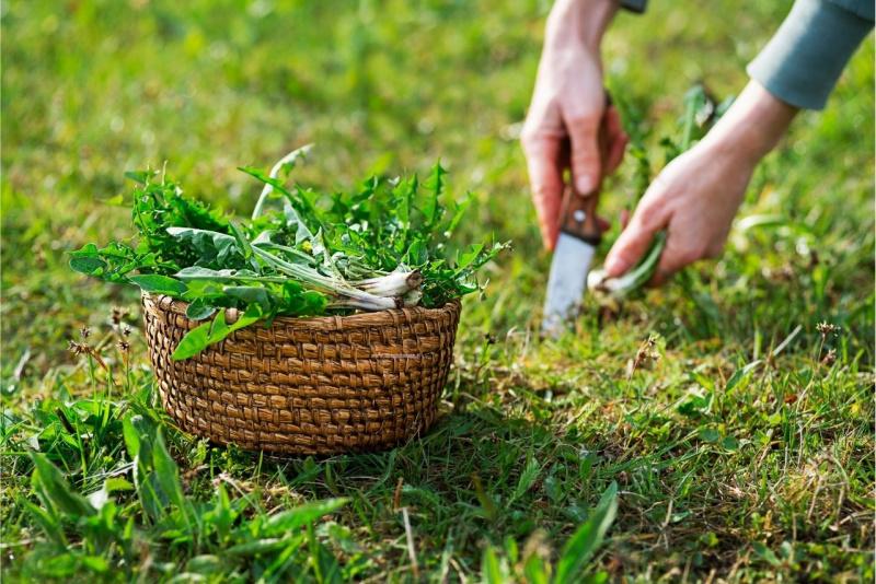 raccolta foglie pianta tarassaco