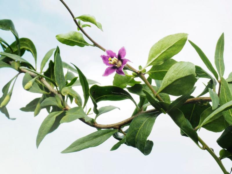 fiore viola goji foglie verdi rami