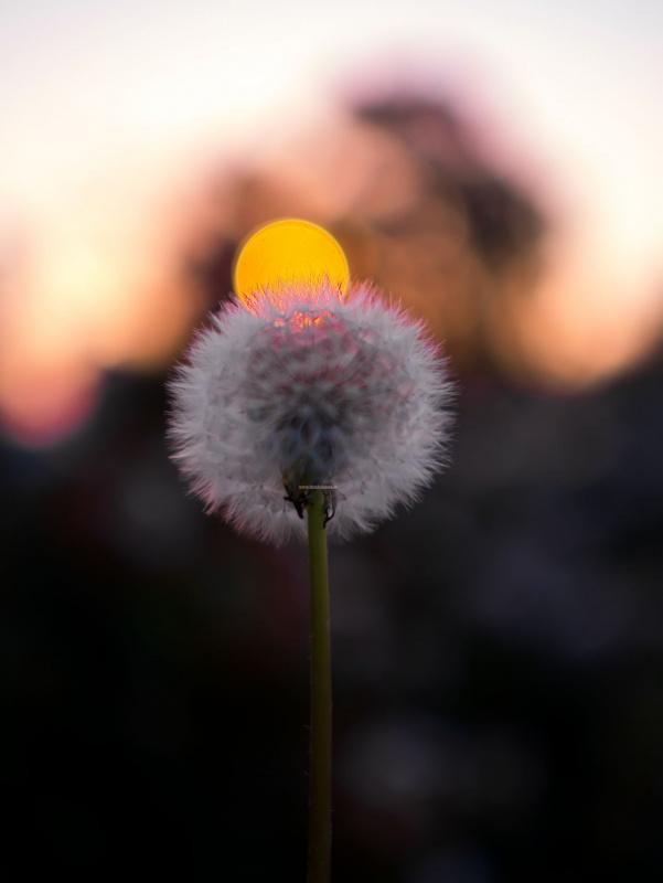 fiore tarassaco soffione tramonto sole