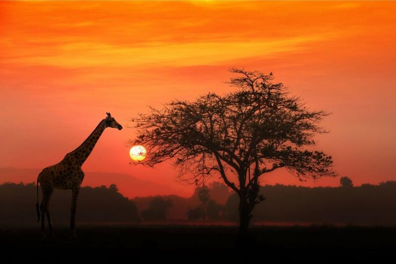 giraffa sole tramonto cielo rosso albero Kenya