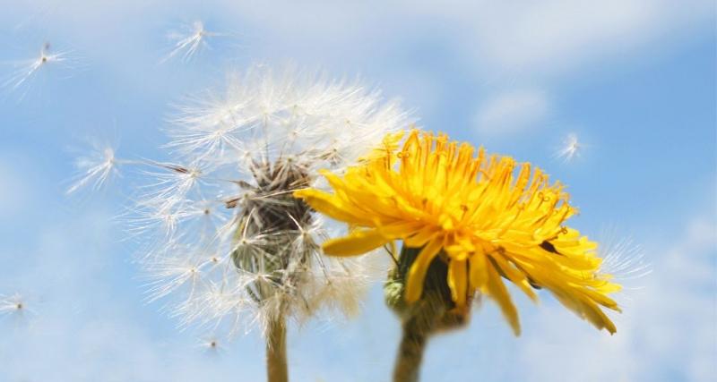 fiore tarassaco giallo soffione vola