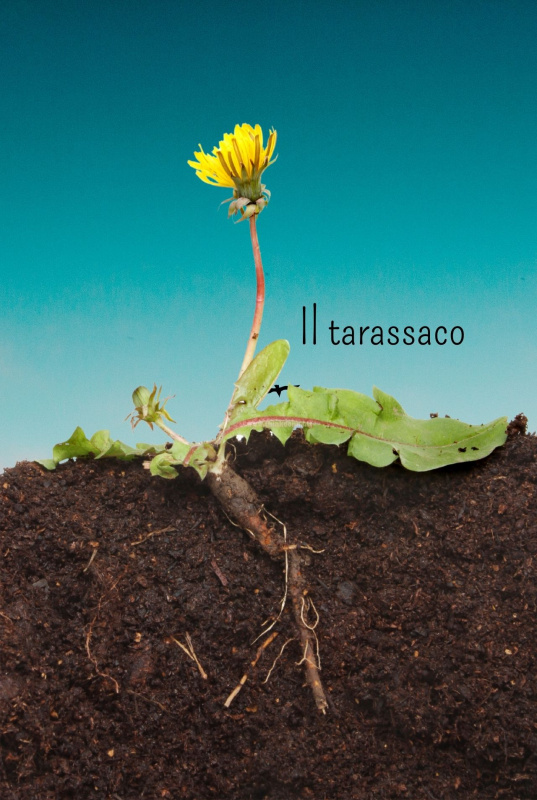 tarassaco radice fiore terra cielo