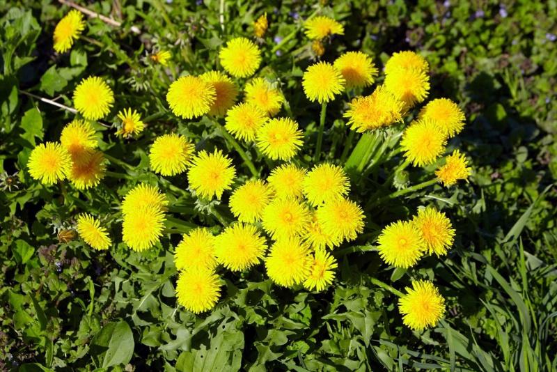 boccioli fiori foglie tarassaco giallo