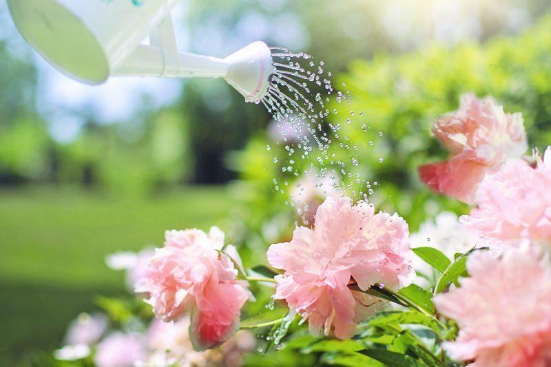 Come trovare un giardiniere perfetto per il tuo giardino annaffiatoio fiori rosa peonie
